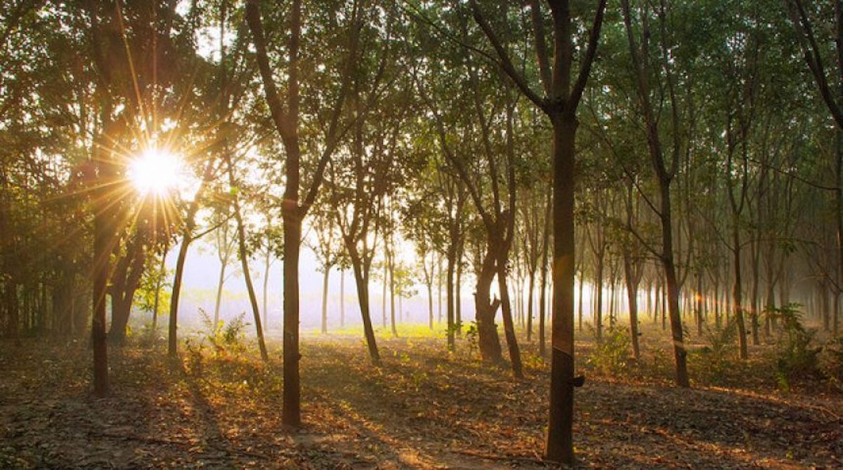 rubberwood is not sustainable